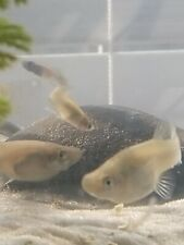 12+ Live Gambusia Mosquito Fish (Feeder Fish)