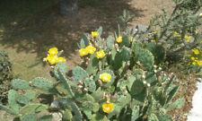 2 Ohren Opuntia Phaeacantha littoralis California Frosthart 253