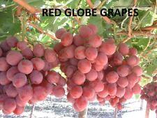 Red Globe Grapes 4 Fresh Cuttings