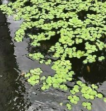 10 Small Water Lettuce Pond Plants with Free Shipping (with some Duck Weed)