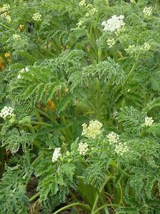 Chaerophyllum azoricum -  Hardy Perennial Umbel Drought Tolerant in 9cm Pot