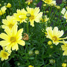 Coreopsis Mayfield Giant Seeds (F 58)