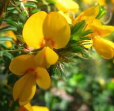 Pultenaea villosa HAIRY BUSH PEA native yellow & red flowers plant in 140mm pot