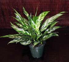 "Aglaonema Maria 6""Pot Chinese Evergreen Excellent Tropical House Plant Easy Care"