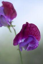 "Sweet Pea (Lathyrus) ""Matucana"" x 20 Seeds Heirloom Grandiflora variety"