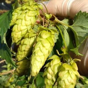 Hops Rhizomes Australia Centennial Chinook Cascade Columbus Target Dr Rudi