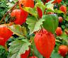 CHINESE LANTERN Physalis Alkekengi - 100 Bulk Seeds