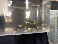 5 Fancy Female Guppy Live Bearers Freshwater Aquarium Fish