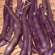 1 Lb Royal Burgundy Green Bush Bean Seeds - Everwilde Farms Mylar Seed Packet