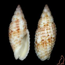 Mitra Neocancilla papilio langfordiana, Hawaii, Mitridae sea shell