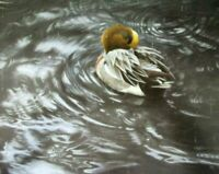 Vintage Art Robert Bateman European Widgeon Rain Robin Hydrangeas Birds Duck