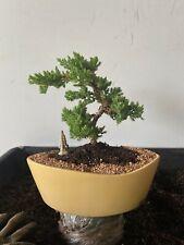 Juniper Bonsai Tree Medium Perfect For Beginners Styled