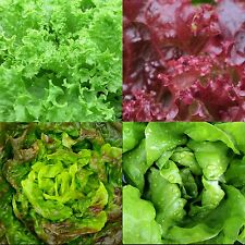 500 Samen Salat-Mischung Herbst und Winter Pflücksalat Kopfsalat