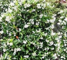 Winterharte Kletterpflanzen immergrüne kletterpflanzen günstig kaufen ebay