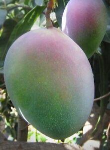 Mango Tropical Fruit Tree   (KEITT)