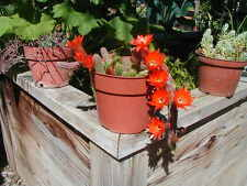 "Peanuts Cactus-Echinopsis Chamoecereus-4"" pot Size"