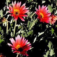 30 Semillas de A. para Grande Flor Harlequin Mezcla