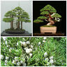 10 Samen Juniperus Chinensis, Juniper Chinese,  Seeds, G