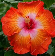 Giant Hibiscus Flowers Seeds (Orange/Pink) Qty 20 Seeds