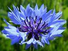 80 graines BLEUET DES CHAMPS (Centaurea Cyanus)X38 BACHELOR'S BUTTON SEEDS SAMEN