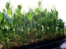 Organic Green Pea Sprouting -25 Seeds