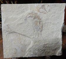Fossil Shrimp-Lebanon