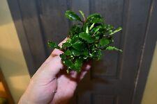 Bucephalandra 'Ondulado Verde' - Hardy planta acuática