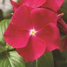 40+ FRAGRANT COOLER STRAWBERRY VINCA FLOWER SEEDS / PERIWINKLE / ANNUAL