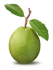 20 GUAVA Psidium Guajava Fruit Tree Shrub Evergreen Seeds + Gift & Comb S/H