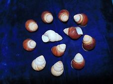 TEN (10) POLISHED BROWN SNAIL SHELLS FROM THE PHILIPPINES,   CRAFT AQUARIUM