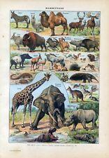 Mammals, giraffe, elephant Antique lithograph print.Larousse C1920