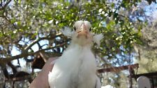 Araucana 12+ eggs Light blue Proven APA show Colors tufted rumpless
