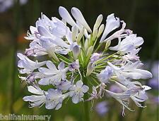 3 Agapanthus Phantom    rare plant  excellent garden plant