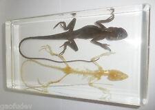 Oriental Garden Lizard And Skeleton Set Clear Resin Education Specimen T344