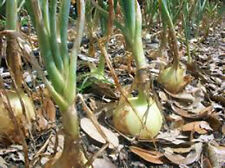 ONION, TEXAS EARLY GRANO, HEIRLOOM, ORGANIC 25+ SEEDS, SHORT DAY, VIDIALA TYPE
