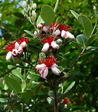 Pineapple Guava - Feijoa sellowiana - 2 Feet Tall - Ship in 1 Gal Pot