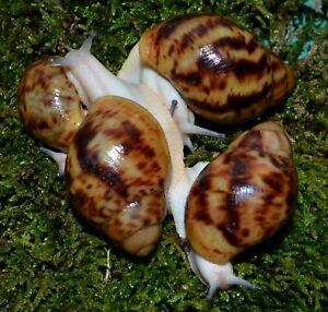 "#1 Land Snail Archachatina marginata ovum hypomelanistic body ""Acromelano"" 6-8cm"