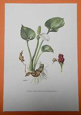 Sumpf-Calla oder Drachenwurz (Calla palustris) Schlangenkraut  Farbdruck 1954