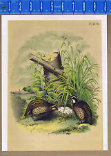 American Quail or Partridge (Ortyx Virginianus) - STUDER 1878 Lithograph