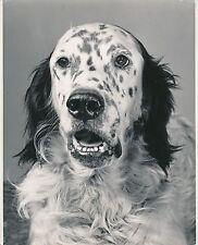 SETTER ANGLAIS c. 1950 - Chien de Chasse Grand Format - CH 48