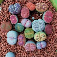 100 Seeds Mixed Lithops Seed Living Stones Succulent Plant Garden Bonsai Decor
