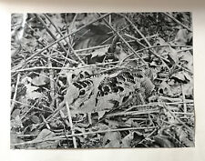 Woodcock On Her Nest. Photographic enlargement by A. Radclyffe Dugmore. 1900