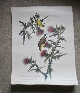 Vintage Audubon Print Yellow Bird or American Goldfinch Botanical Art  16 x 20