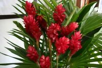Hawaiian Red Ginger Alpinia Purpurata Starter Roots - 1 Pack 2 Roots NO BLOOM