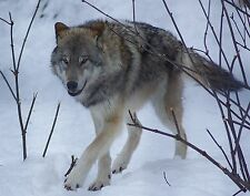 Wolf Taxidermy Reference Photo Cd