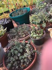 Ten 2� Hopkins Sedum Cuttings Succulent Stonecrop Dasyphyllum Ghost Plant