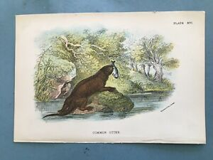 Natural history, two engravings, Otter and a stoat. circa 1875.