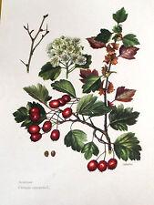 Planche Ancienne Botanique . Aubépine N°55 (FL2)