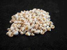 "8 oz (1000+)Tiny Venetian Pearl Mini Shells 1/4"" Sailors Valentine Crafts Beach."