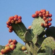 NOPAL RED FRUIT nopalina nopalea exotic edible cactus sweet juice seed 100 SEEDS